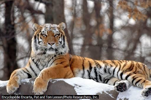 tigredesibrie.jpg